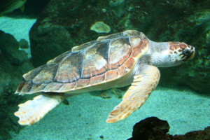 Caretta caretta turtle | Source: Wikipedia